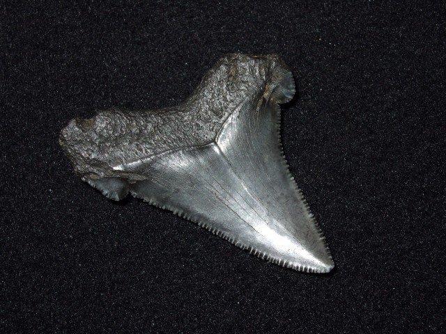 "Very fine 2 1/8"" pre-historic shark's tooth"