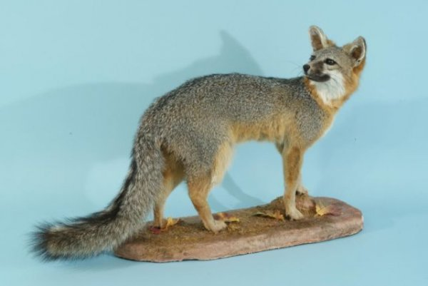 18: RED WINTER FOX TROPHY FROM TEXAS