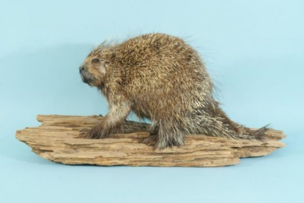 19: PORCUPINE TROPHY FROM WEST TEXAS