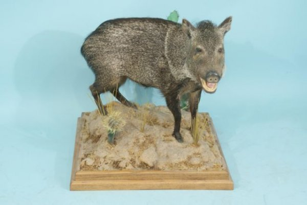 20: JAVELINA TROPHY FROM WEST TEXAS