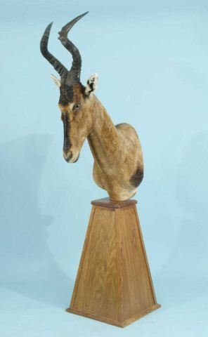 20A: RED HARTEBEEST TROPHY ON WOODEN PLINTH