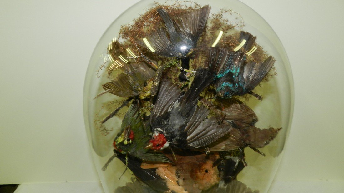 438: VICTORIAN TAXIDERMY BIRDS IN GLASS DOME Late 19th  - 2