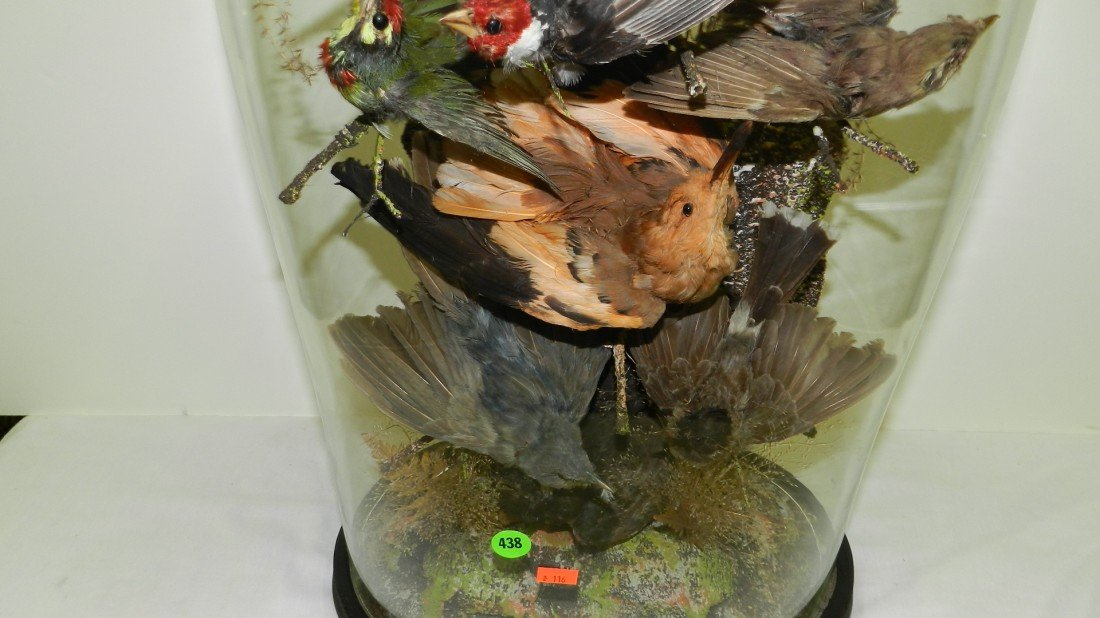 438: VICTORIAN TAXIDERMY BIRDS IN GLASS DOME Late 19th  - 3