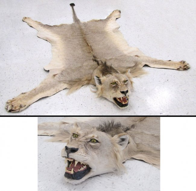 VINTAGE LION SKIN RUG WITH HEAD AND CLAWS : Lot 81