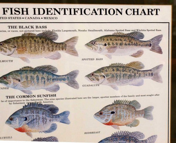 Fish identification chart car interior design for Louisiana fish and game