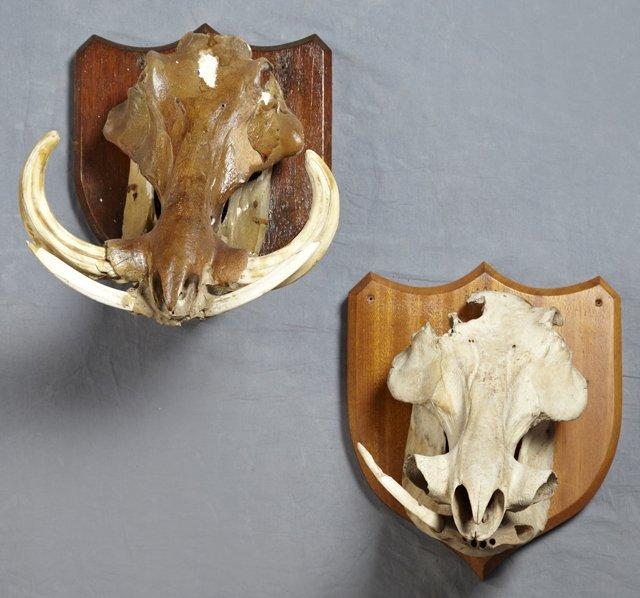 DoItYourself Skull Mount  Wild Boar USA