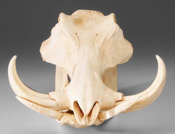 0767: Wild Boar Skull : Lot 767