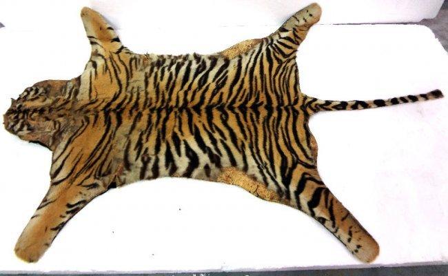 Tiger Fur Rug Lot 92